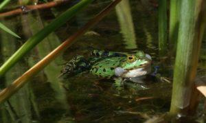 grenouilles en avril